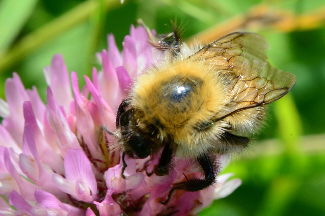 High Angle View Of Bumblebee On Crimson Clover