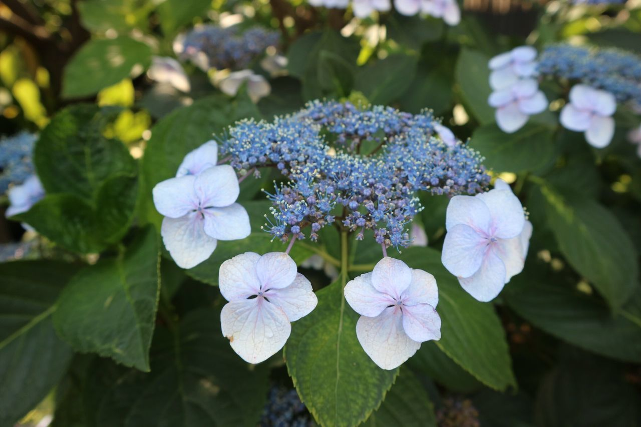 flower, beauty in nature, growth, nature, fragility, day, petal, freshness, focus on foreground, plant, flower head, blooming, no people, leaf, outdoors, hydrangea, periwinkle, close-up