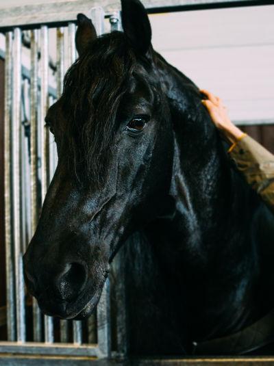 Animal Head  Black Horse Friesian Horse Horse Portrait Indoors  Petting Stable