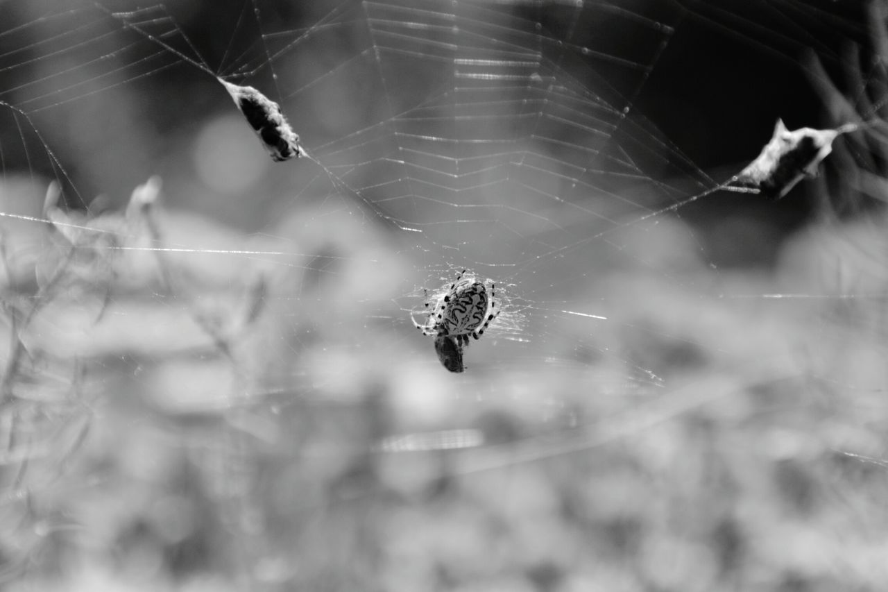 Insect Animals In The Wild Animal Themes One Animal Animal Wildlife Spider Web Nature Close-up Spider Outdoors No People Fragility Blackandwhitephoto Blackwhite Black & White Photography Blackandwhitephotography Black And White Collection  Blacknwhite Tenerife Prey Quarry Spider Webs Spider And Its Prey Animals In The Wild Survival