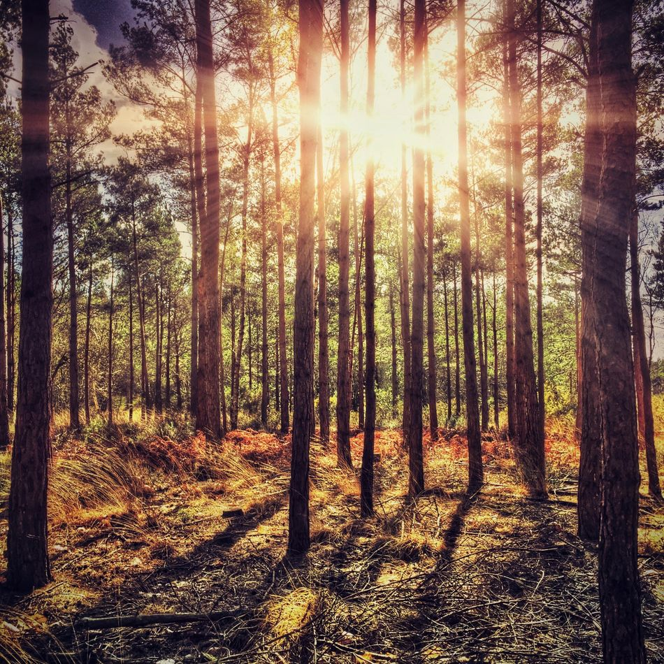 Sun through the forest Beauty In Nature Day Forest Nature No People Outdoors Scenics Sunbeam Sunlight Tree Tree Trunk