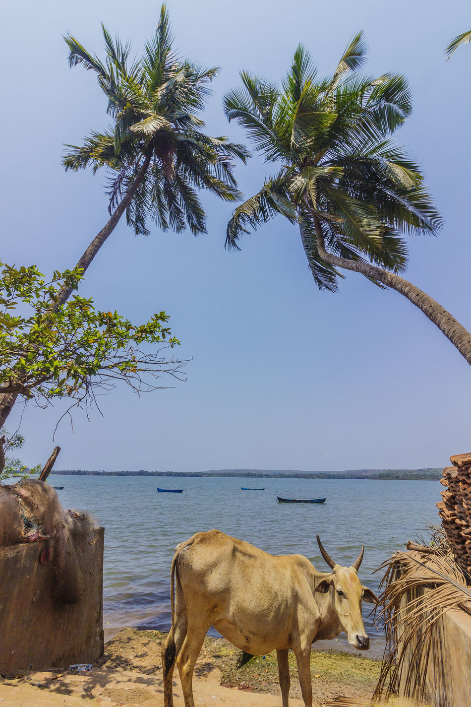 A Boats Composition Cow Daylight EyeEm Best Shots Goa Incredible India India Indiapictures Landscape Nature Nature Photography Palm Trees Photography Riverside Street Photography Streetphoto_bw Streetphotography Tranquility Vertical Village Village Life Village Photography
