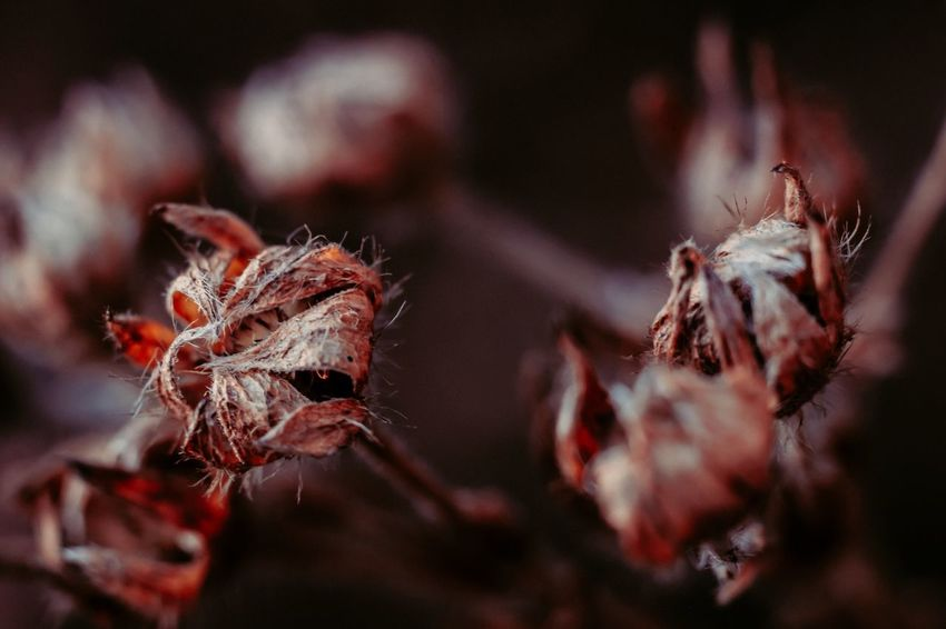 Nature Fragility Plant Close-up Beauty In Nature No People Flower Growth Outdoors Day Dried Plant Dried Flower Head Wilted Plant Freshness Macro Beauty In Nature Showcase: December Wintertime Fuji-xe2s Tenebrio.photos Zeiss60mm Fluffy