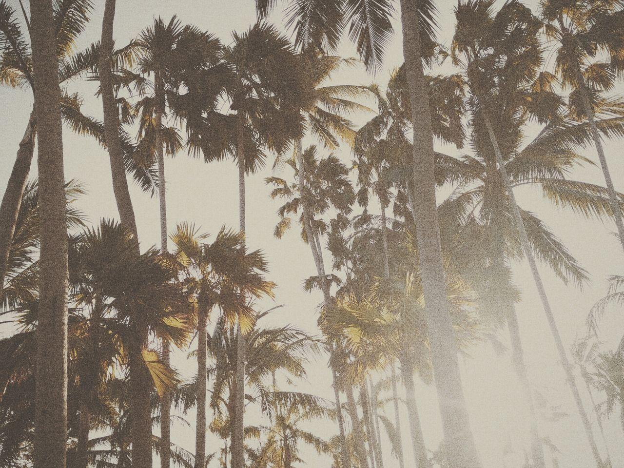 palm tree, tree, tree trunk, low angle view, nature, growth, no people, outdoors, day, sky