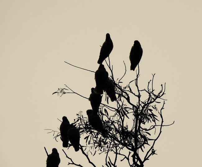Birds Cockatoos Evening Light Silohette Trees And Nature Trees And Sky Treetops Twilight Sky