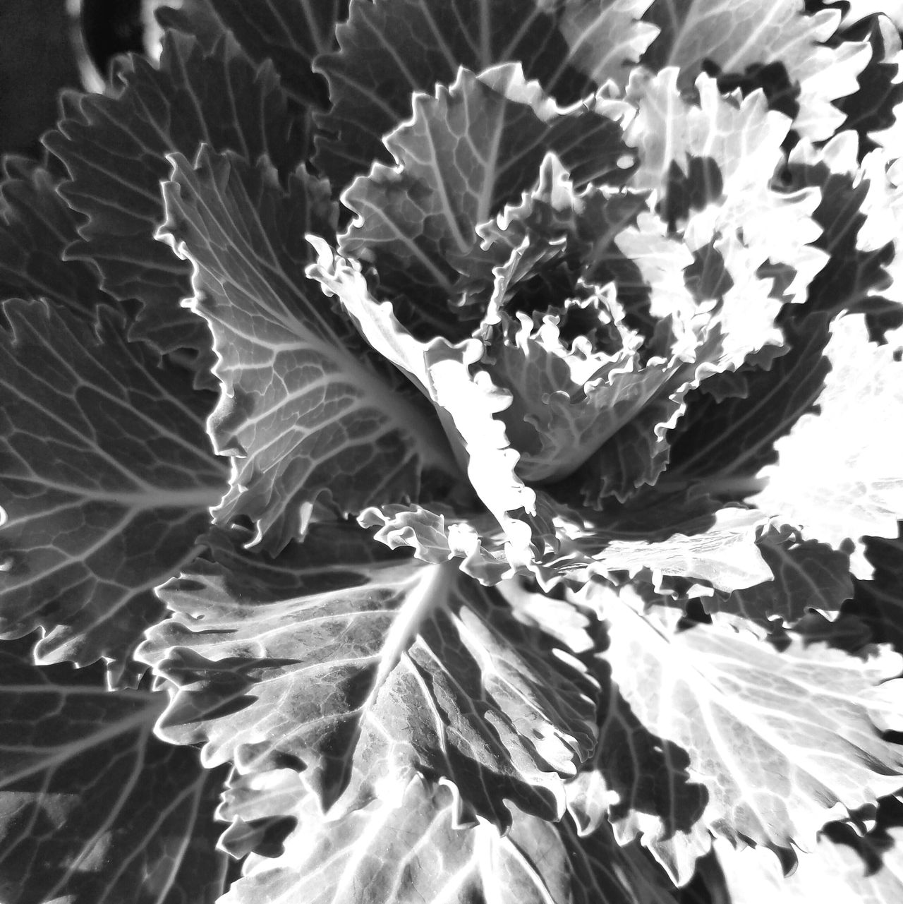 DECO EDIBLE Monochrome Photography Growth Plant Leaf Close-up Nature Natural Pattern Beauty In Nature Botany Selective Focus Freshness Plant Life Tranquility Outdoors Fragility Full Frame Day Frond Leaves Scenics Softness MUR B&W