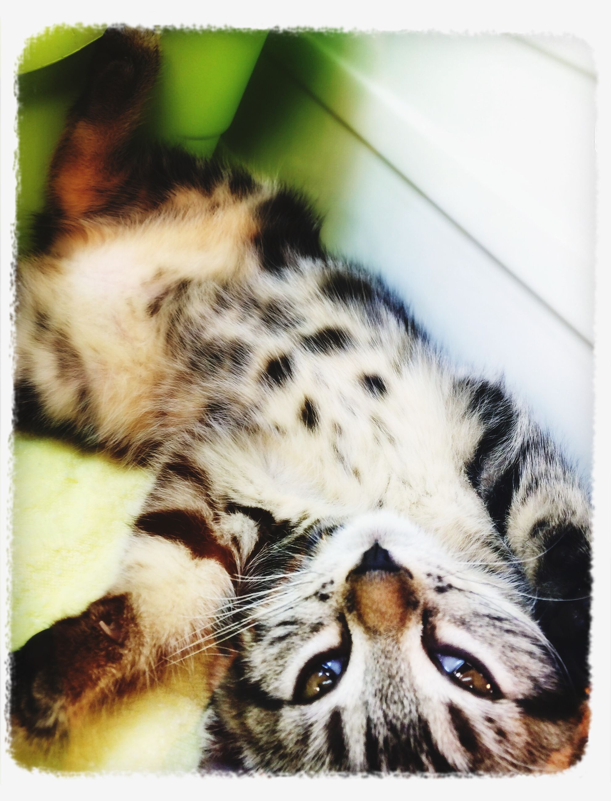 transfer print, domestic cat, one animal, animal themes, cat, pets, auto post production filter, feline, mammal, domestic animals, whisker, indoors, close-up, animal head, relaxation, animal body part, portrait, resting, looking at camera, lying down