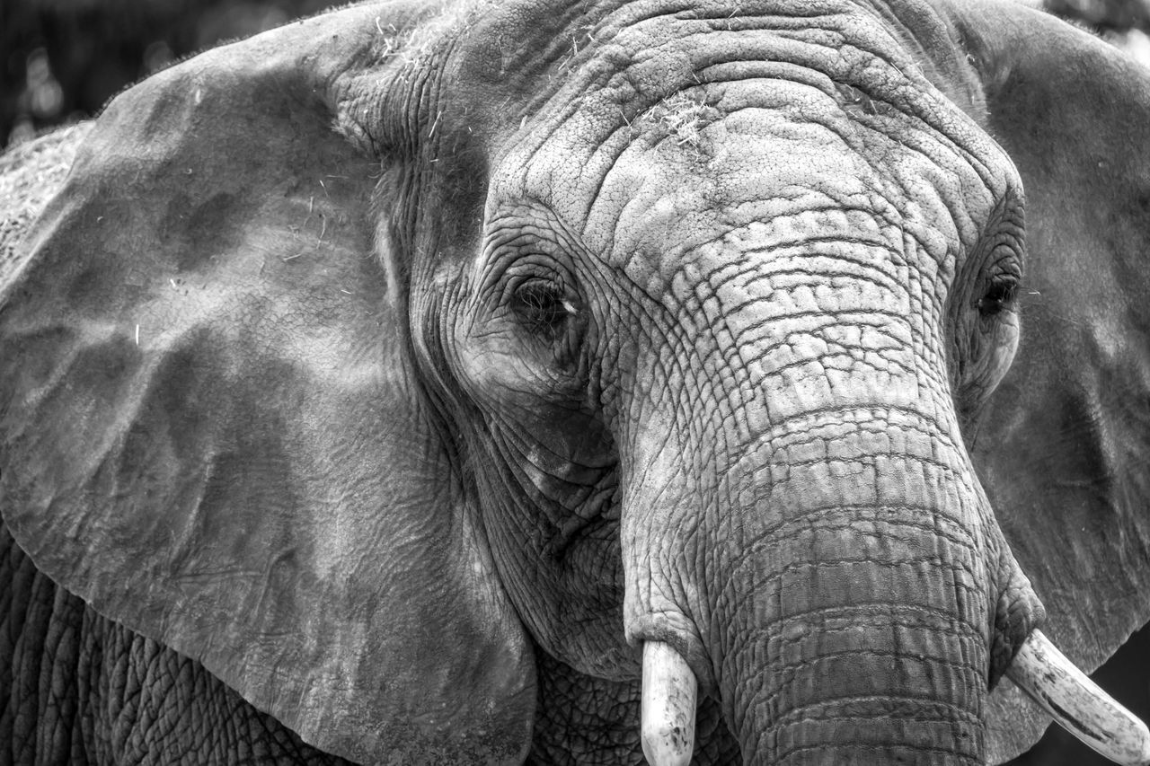 Adult elephant head close-up African Elephant Animal Body Part Animal Head  Animal Themes Animal Trunk Animal Wildlife Animals In The Wild Beauty In Nature Close-up Day Elephant Large Mammal Nature No People One Animal Outdoors Safari Safari Animals Tusk