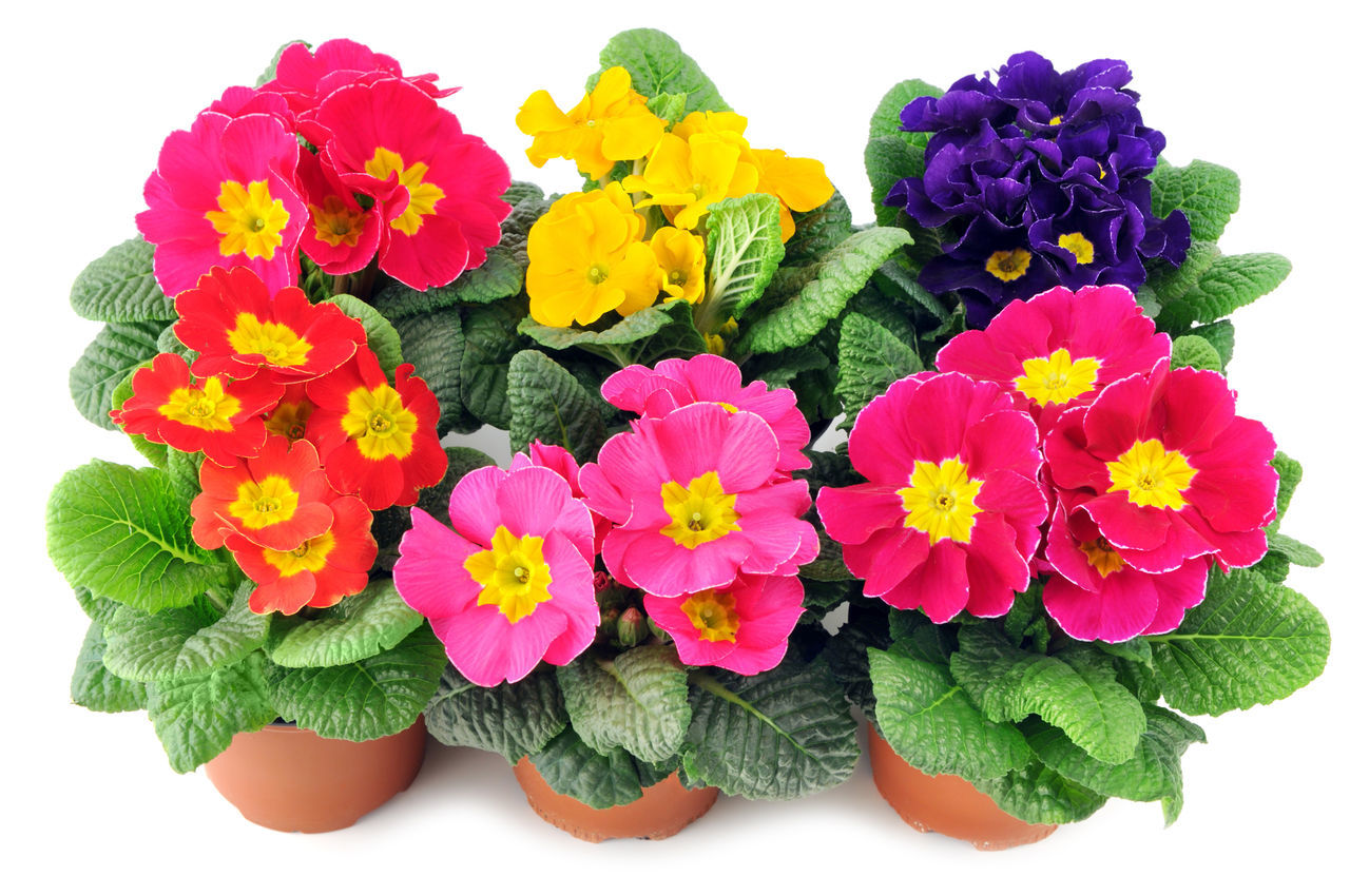 group of primula flowers on a tray box. blue, red, pink, yellow flowerheads. Close-up Flower Flower Head Flowerpot Freshness Isolated Isolated On White Isolated White Background Pink Flower Plant Potted Potted Flower Potted Flowers Potted Plant Primrose Primroses Primula Primulas Red Flower Studio Shot White Background Yellow Flower