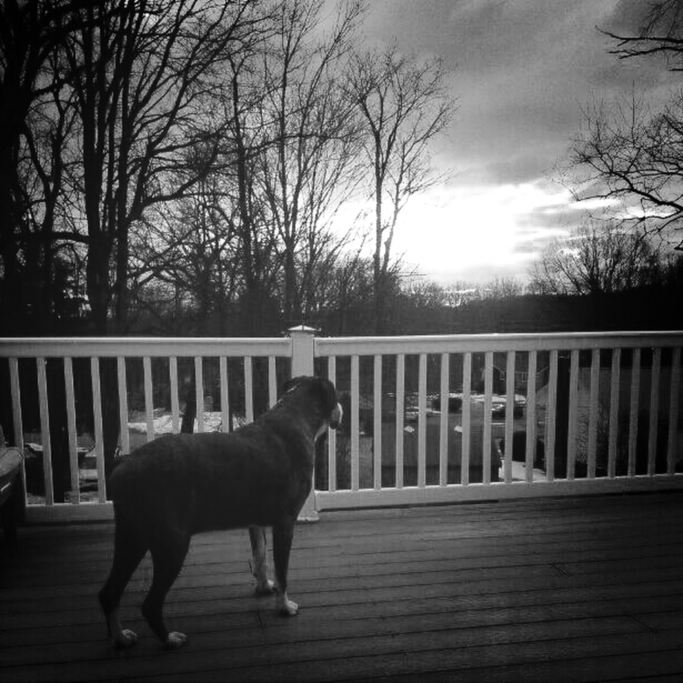 domestic animals, pets, animal themes, one animal, dog, tree, mammal, full length, sky, bare tree, railing, rear view, walking, standing, fence, men, lifestyles, outdoors