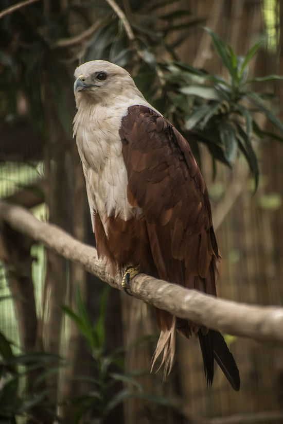 Animal Themes Animal Wildlife Animals In The Wild Bird Bird Of Prey Branch Close-up Day Eagle Eagle - Bird Eagles Eyeem Philippines No People One Animal Outdoors Perching Philippine Eagle Serpent Eagle Tree White Bellied Eagle