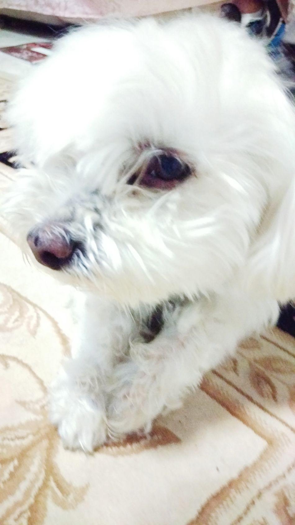 Dog Love Maltese White Dog WhiteCollection Cute Pets