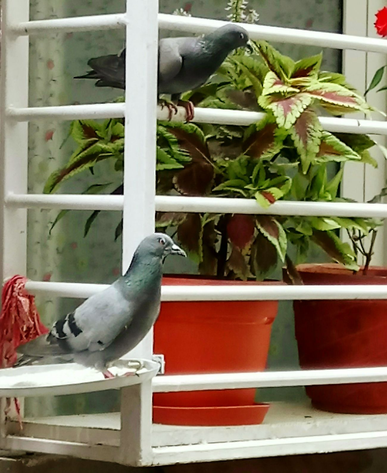 The watch Mobilephotography Mobile Photography Sony Xperia Photography. Bird Plant No People Close-up Day Nature Outdoors Animal Themes Greenhouse Birds Bird Photography Bird Watching Pigeon Pigeonslife Pigeons Birds Of EyeEm