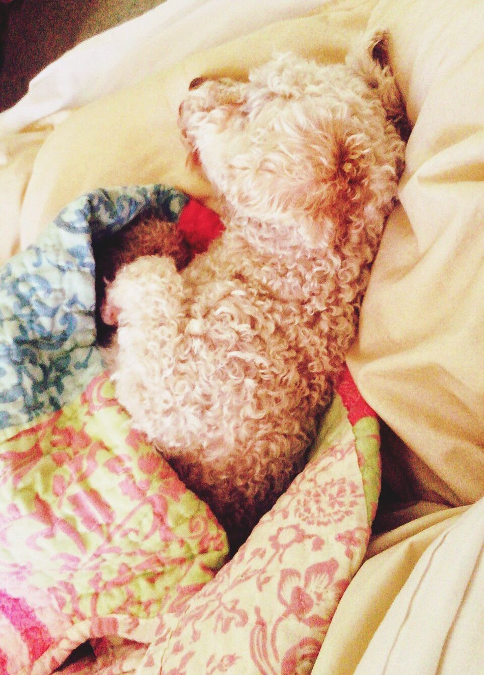 Poodletoy Pets Sleeping No People Popular Photos Relaxing