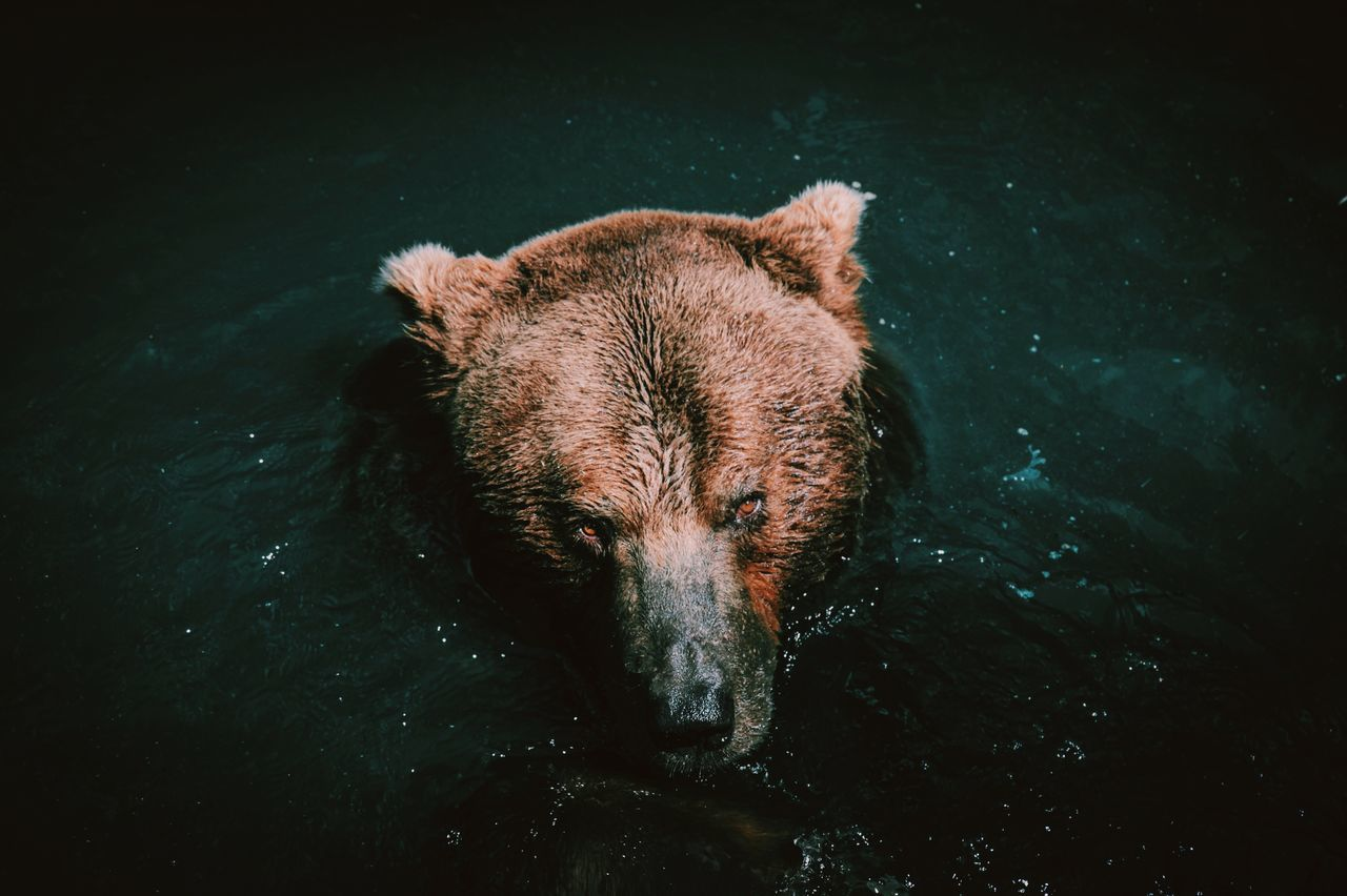 Beautiful stock photos of baer, Brown Bear, animal Head, animal Nose, animal Themes