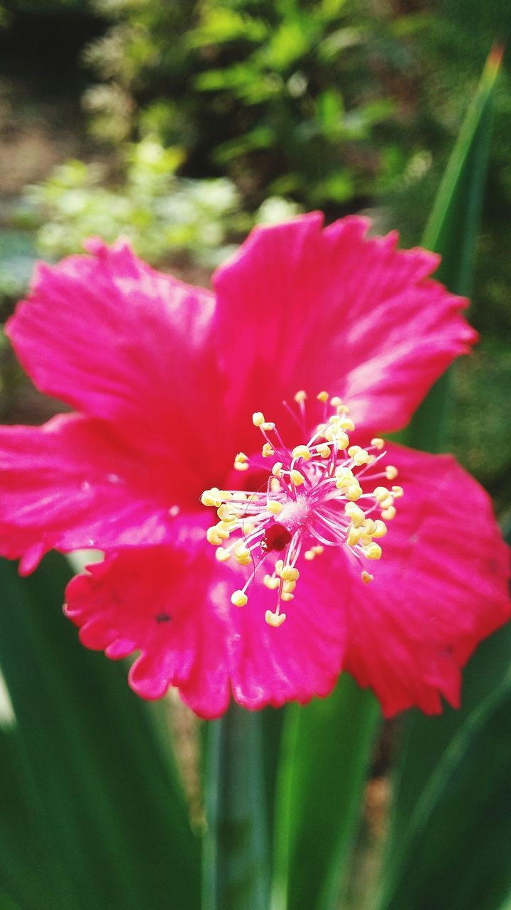 flower, petal, beauty in nature, fragility, nature, flower head, growth, freshness, plant, day, outdoors, pink color, no people, close-up, blooming