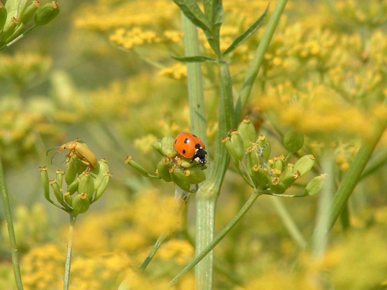 ladybeetle Animal Themes Animal Wildlife Animals In The Wild Beauty In Nature Close-up Day Flower Flower Head Focus On Foreground Fragility Growth Insect Ladybeetle Ladybug Ladybug Leaf Nature No People One Animal Outdoors Plant Tiny