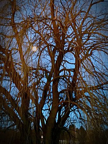 The moon setting Tree Willow Beauty Low Angle View No People Beauty In Nature Sky Outdoors Taken On Mobile Device Eyem Best Shots Nature_collection Exceptional Photography Tranquillity Eyeem Photo Visionary Art Edited By Me