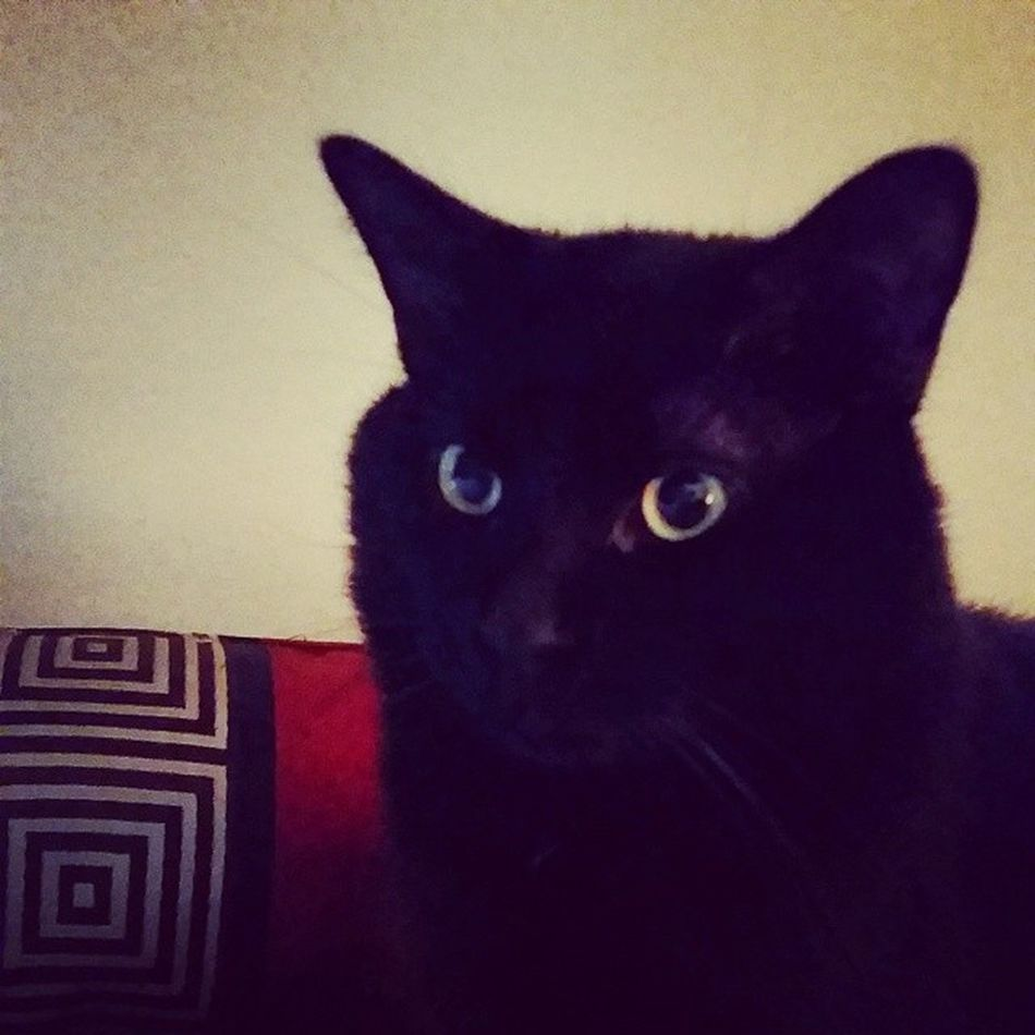 Bagheerah! ???????? Caturdaymorning Catsofinstagram Cats Fiercefelines blackcats familiar babyboy catscatscats bagheerah caturday furbaby