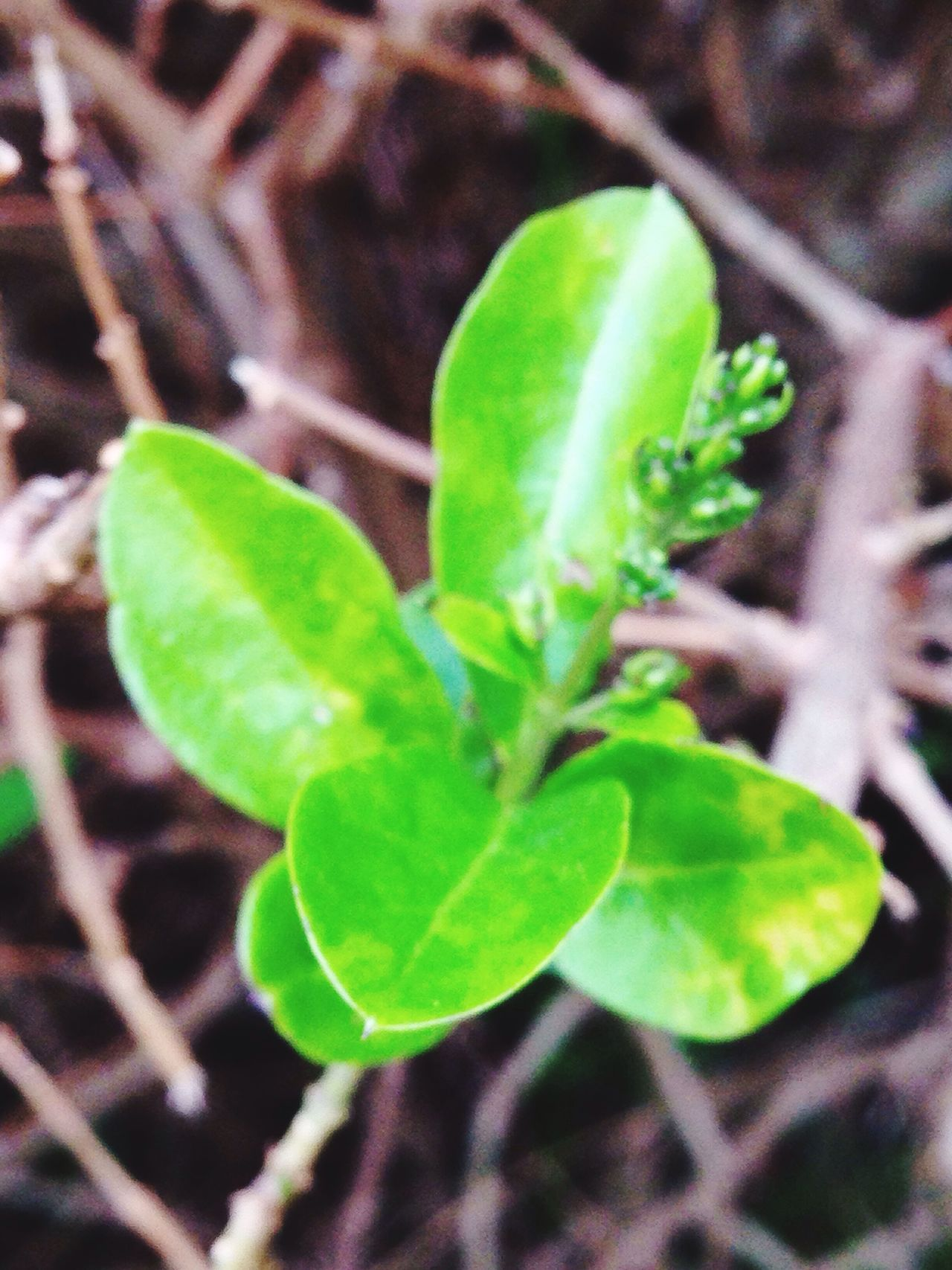 Plant Growth Green Color Leaf Nature Close-up Tendril No People Green Beginnings New Life Beauty In Nature Day Outdoors Fragility Freshness Animal Themes Privet