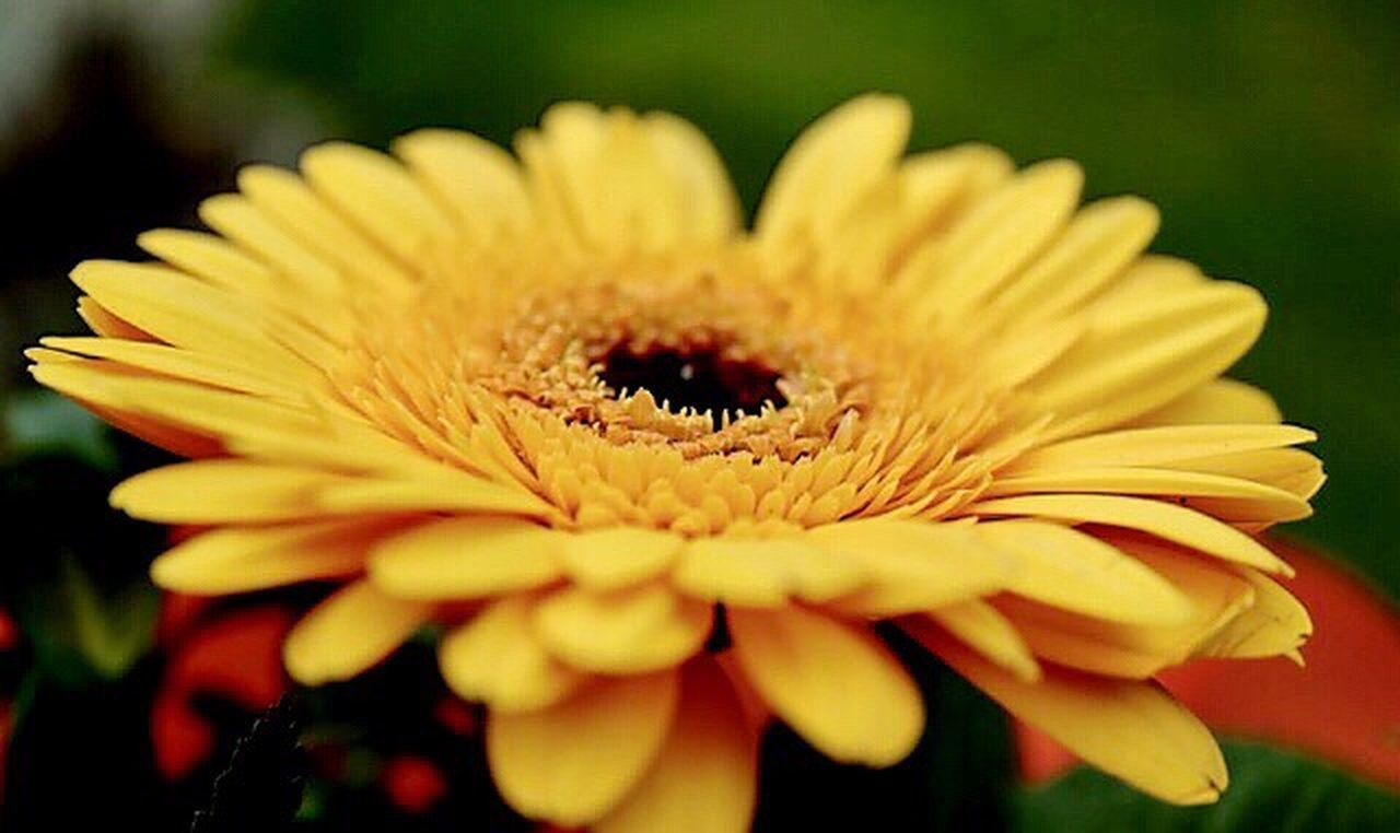 💚🌼💚G o o d - M o r n i n g💚🌼💚 Flower Fragility Petal Flower Head Beauty In Nature Nature Freshness Close-up Yellow Outdoors Pollen Plant No People Gerbera Daisy StillLifePhotography Macro Naturelovers My World ♥ Lovely Springtime Daswasichsehe😊 Beauty In Nature Enjoying Life Hobbyphotography March