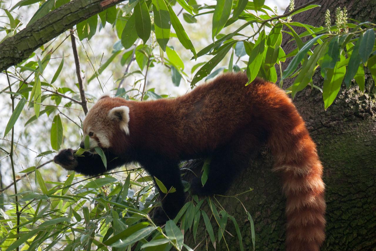 Red Panda Animal Captive Animals Day Mammal No People Red Panda Springtime Zoo Zoo Animals  Zoológico