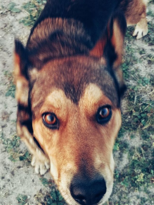 Dog One Animal Domestic Animals Looking At Camera Pets Portrait Close-up Brown Loyalty Animal Nose Animal Eye No People First Eyeem Photo