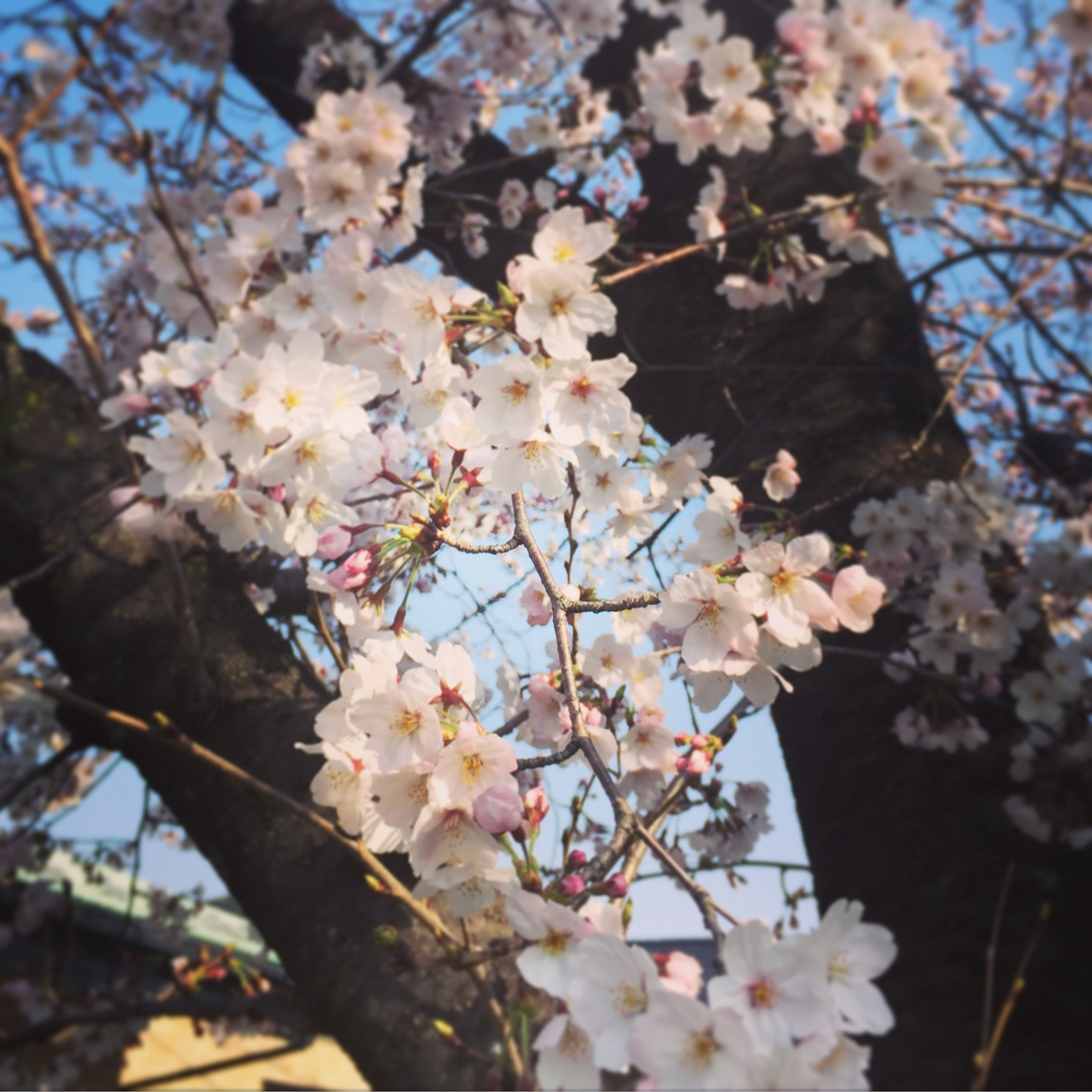 flower, freshness, branch, growth, fragility, tree, cherry blossom, beauty in nature, blossom, petal, nature, cherry tree, blooming, focus on foreground, in bloom, springtime, close-up, flower head, white color, fruit tree