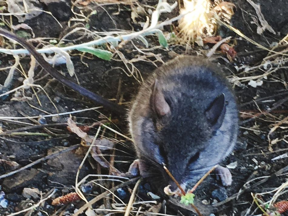 Mouse Little Things Rodents The Great Outdoors Beautiful Nature Big Sur, Ca. Hiding IPhone Photography