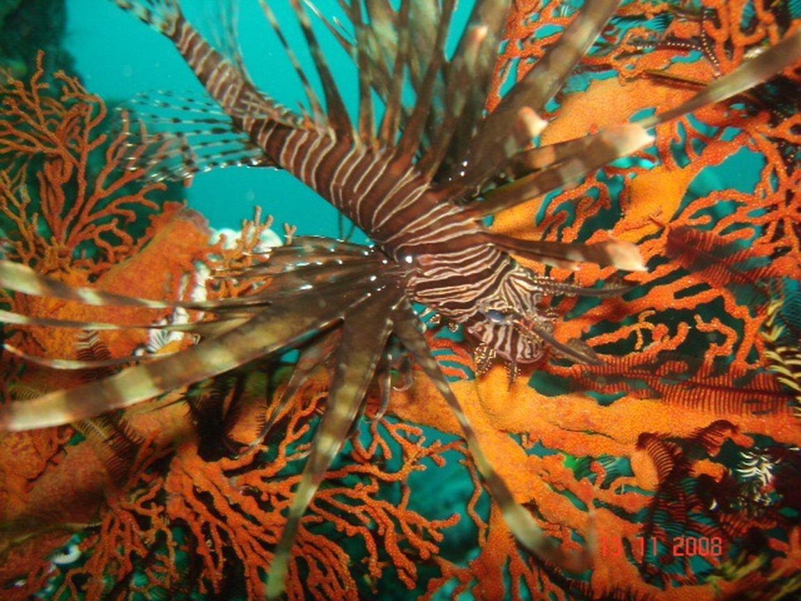 Sea Life Underwater UnderSea One Animal Lionfish In The Sea Red Ocean Animal Themes No People Nature Beauty In Nature Water Ocean View
