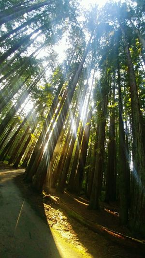 Sunlight Forest Tree Sunbeam Outdoors Nature Road Shadow Beauty In Nature Tree Area Redwood Trees Tall Trees Sunlight Sequoia Redwood Trees Redwood Sequoia Trees Thousands Of Year Old Trees Beautiful Tall Trees