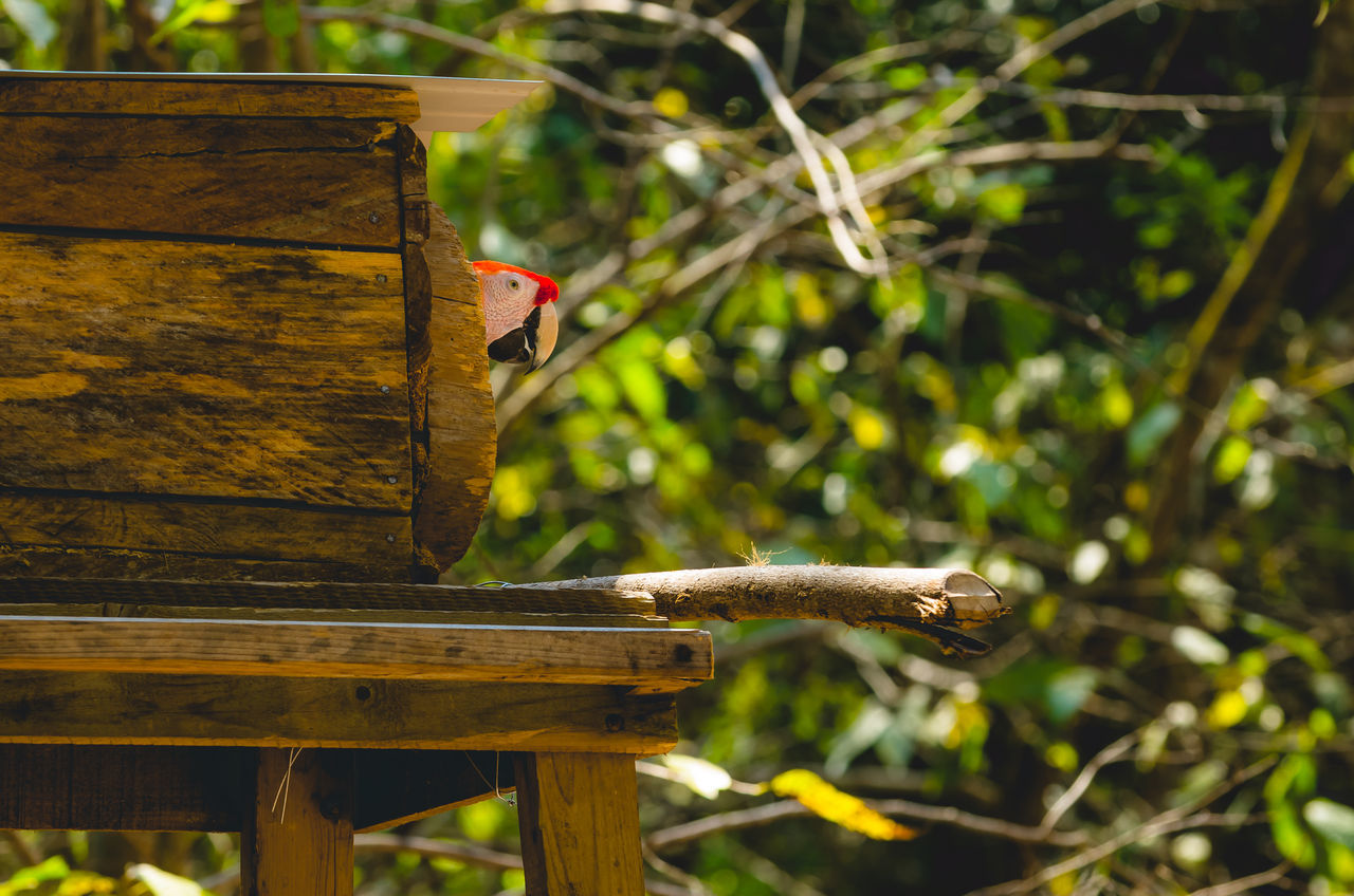 Animal Wildlife Bird Bird House Birds Close-up Copan Dwelling Face Shot Focus On Foreground House Jungle Macaw Mammal Nature One Animal Outdoors Parrot Parrots Peeking Perching Scarlet Scarlet Macaw Tree Wood - Material