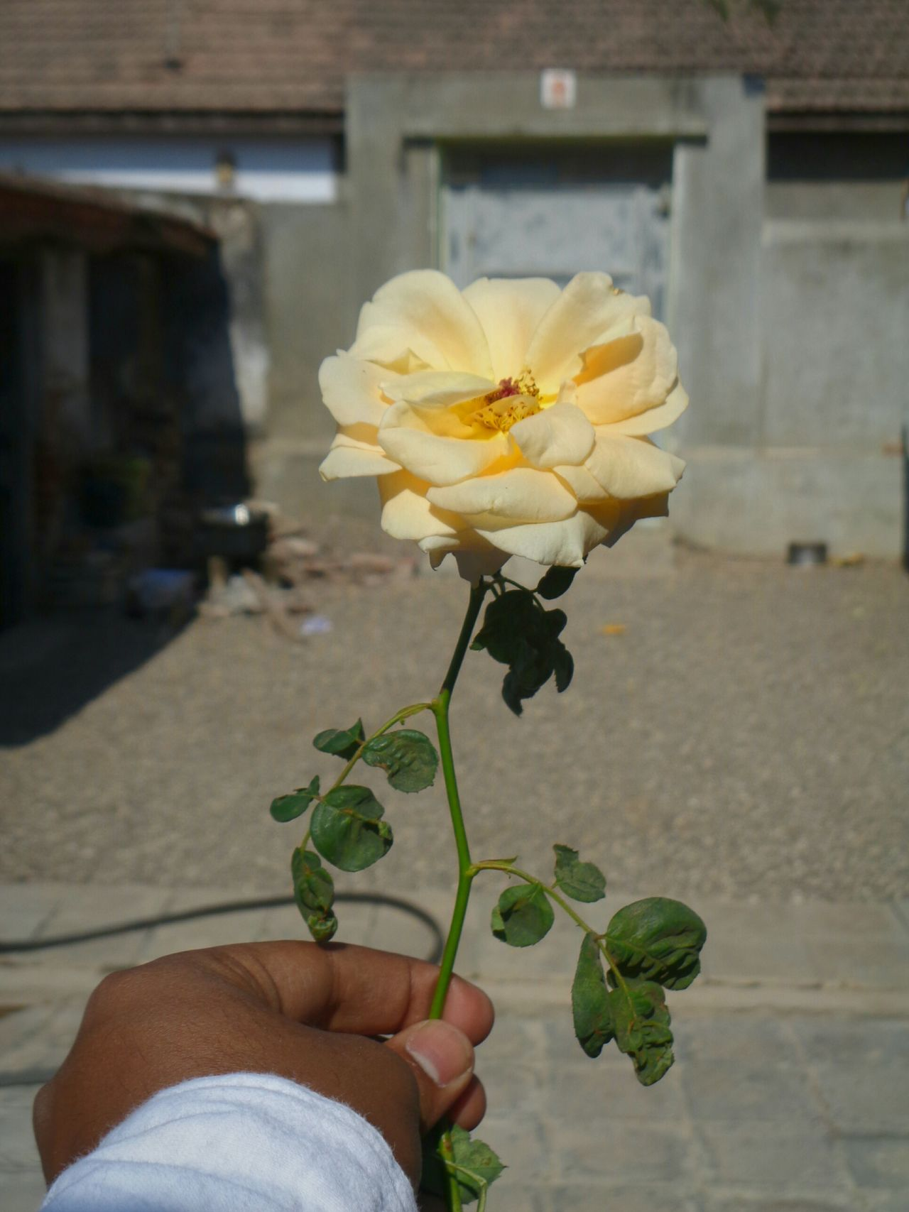 Yellow rose🌻 for friendship💛, dedicate to all my 👫👬friends☺☺ and who will🙌 become friend, , fake friend smell it and go to ****😡😂Human Hand Flower Focus On Foreground One Person Freshness Plant Close-up Fragility Beauty In Nature Nature Me Likeforlike First Eyeem Photo WhatsApp Gujarat Spread The Love Yellow Rose Friendship Friendship? Goodmorning :) Friend? Kik EyeEmFlower Lookingforfriends Indian