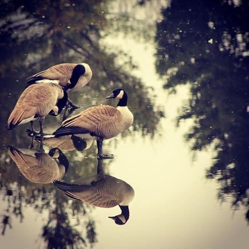 Reflected Glory Canadian Geese Mypond Lifeunderanoaktree