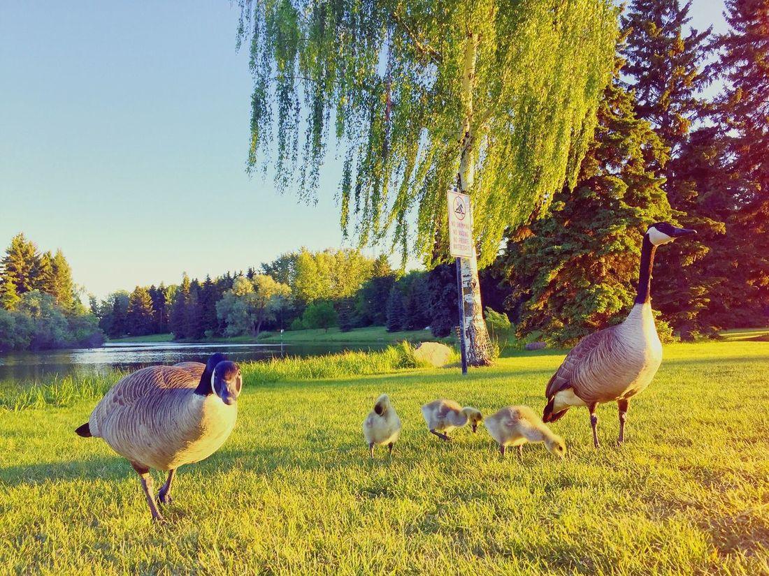 Geese Family Park Summer Sunset Hanging Out Hawrelak Park Edmonton Shabee Rizvi SRCanvas Sunday