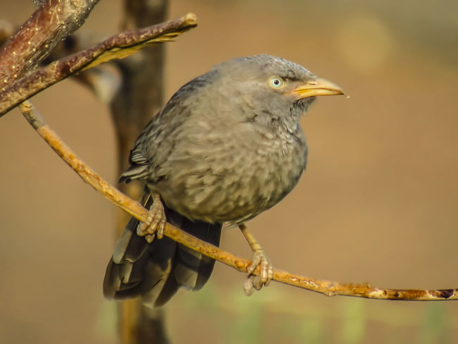 The jungle babbler is a member of the family Leiothrichidae found in the Indian subcontinent. Scientific name:Turdoides striata Higher classification: Turdoides Turdoides Turdoides Striata Indian Subcontinent Leiothrichidae Jungle Babbler Bird Bird Photography Birds Of EyeEm  Bird Animal Wildlife Songbird  Animal One Animal Animals In The Wild Perching Nature No People Winter Focus On Foreground Close-up Living Organism Portrait Branch Outdoors Colored Background Side View Animal Themes Day