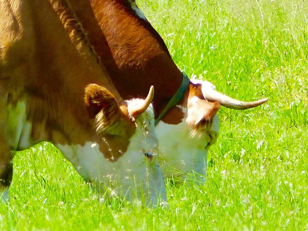 Austria ❤ Stgilgen Outdoor Life Outside Cows In The Feilds Cows Head cows Cows Grazing