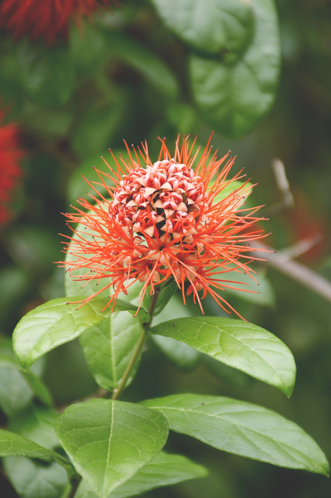 red combretum erythrophyllum flower in nature garden Beautiful Beauty In Nature Blooming Close-up Combretum Erythrophyllum Day Flora Floral Flower Flower Head Fragility Freshness Green Color Growth Leaf Nature No People Outdoors Petal Plant Pollen Red