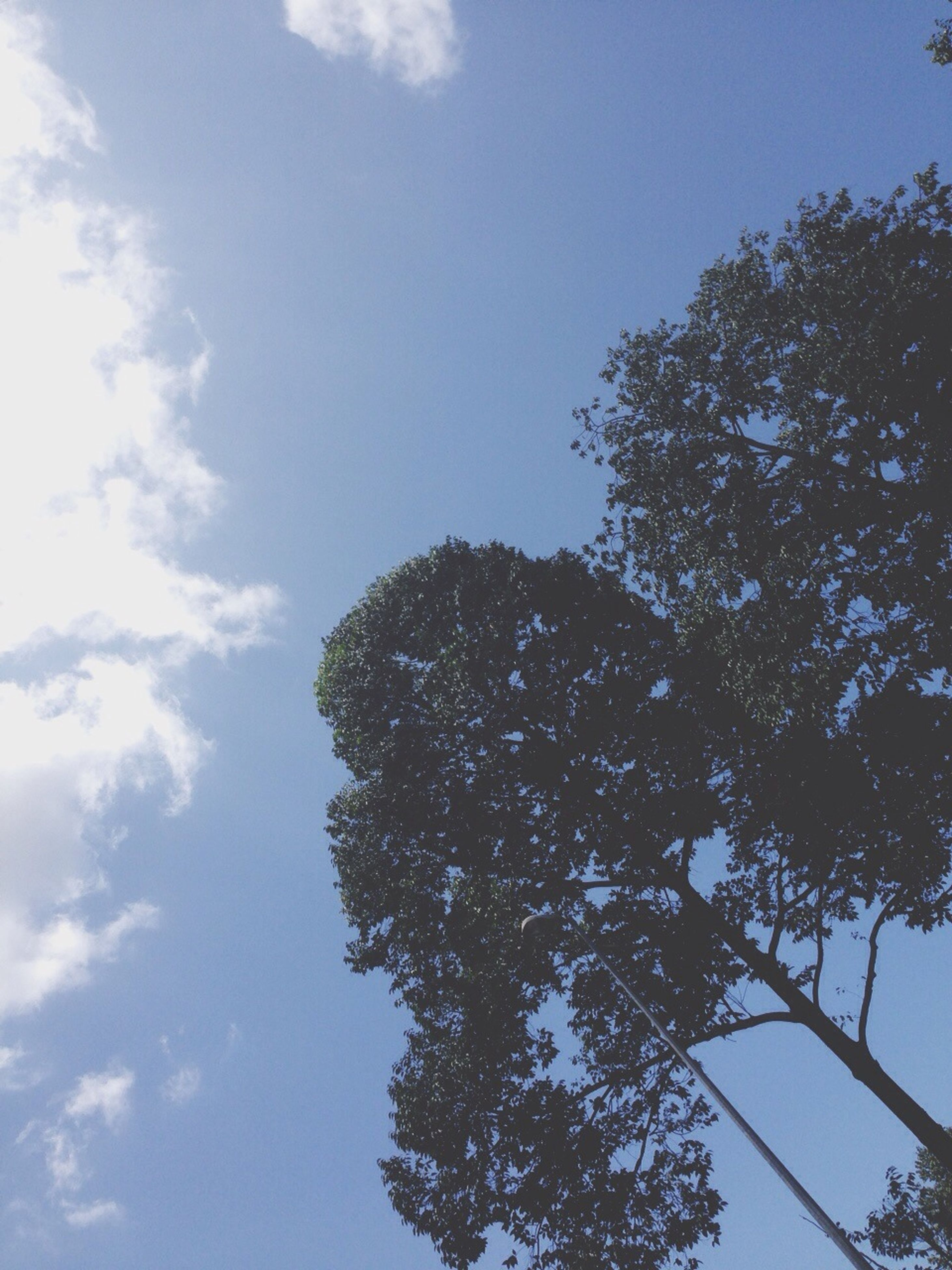 low angle view, tree, sky, growth, blue, nature, branch, beauty in nature, tranquility, day, high section, outdoors, cloud - sky, no people, scenics, sunlight, cloud, treetop, tranquil scene, clear sky