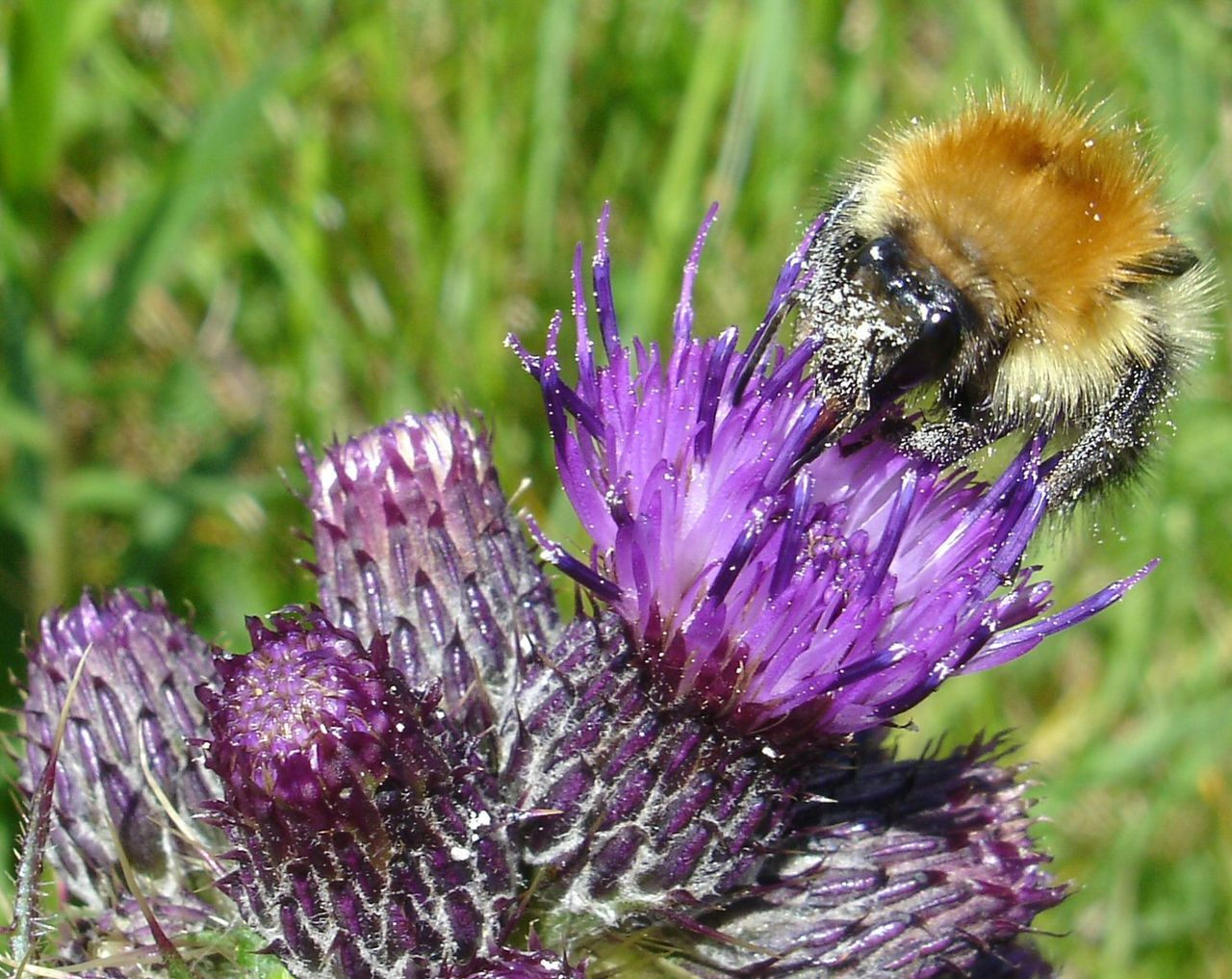 flower, purple, nature, insect, beauty in nature, one animal, growth, fragility, day, animal themes, no people, animals in the wild, petal, outdoors, plant, close-up, focus on foreground, thistle, flower head, freshness, bee, pollination