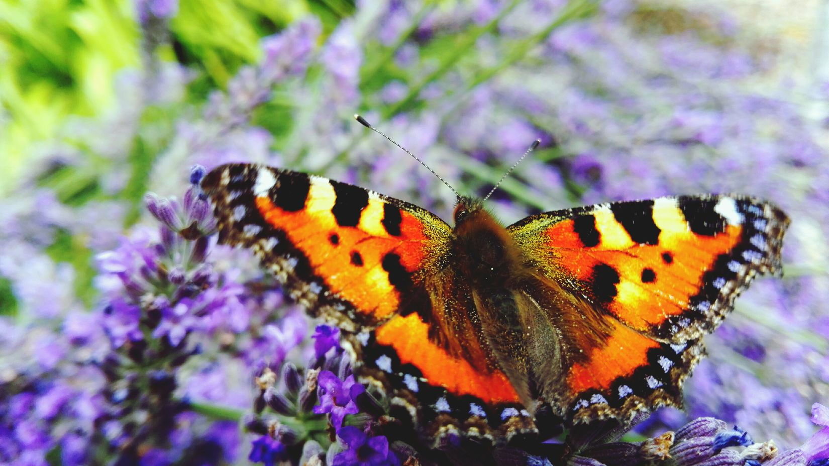 Taking Photos Check This Out Summer Showcase July Summer 2016 See What I See July 2016 Bokeh In My Garden Garden Lavender Butterfly Butterfly Collection Butterfly ❤ Feeling Summer The Places I've Been Today Summertime