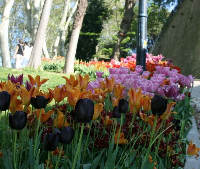 Tulips Tulips🌷 Tulips Flowers Tulip Gulhane Park Istanbul Eminönü/ İstanbul