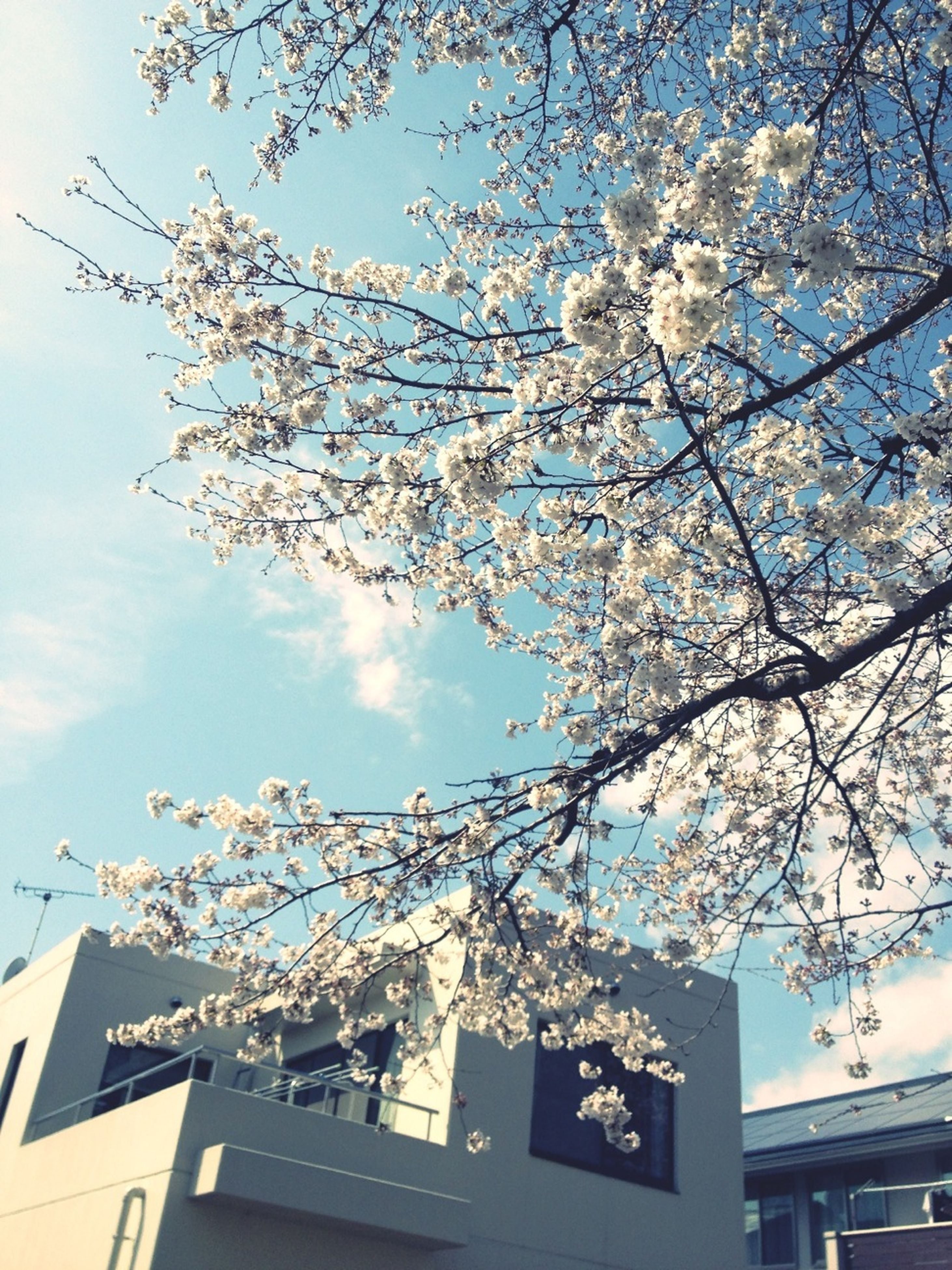 low angle view, building exterior, tree, branch, architecture, built structure, sky, flower, cherry blossom, cherry tree, growth, city, nature, bare tree, blossom, day, outdoors, building, no people, house