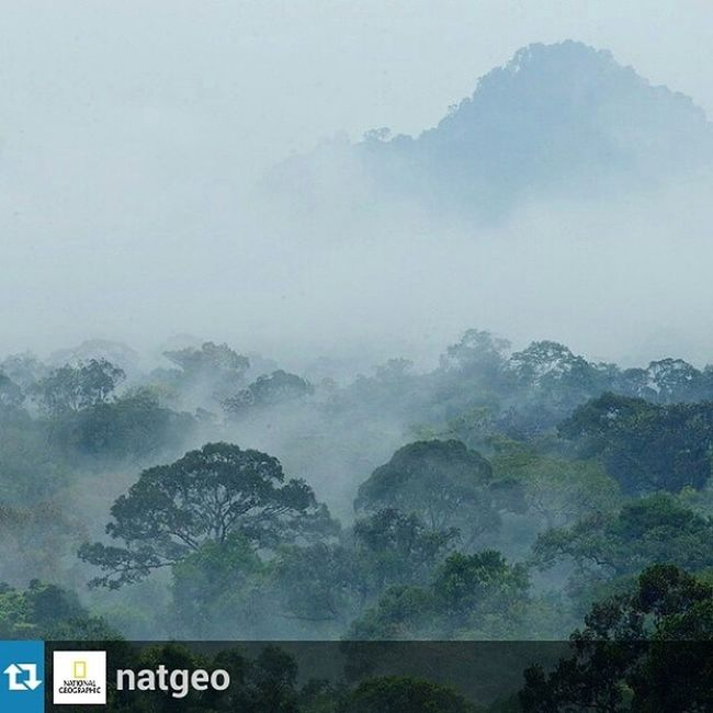 Repost from @natgeo with @repostapp — Photo by @TimLaman on assignment for @NatGeo. Morning mist shrouds the lowland rain forest of Gunung Palung National Park, which is prime habitat for the Bornean Orangutans my wife Cheryl Knott is studying with her team from savegporangutans.org <http://savegporangutans.org> . Follow our family adventures on the PROOF blog at proof.nationalgeographic.com <http://proof.nationalgeographic.com> . SaveGPorangutans , Borneo , INDONESIA , orangutans, @TimLaman, @thephotosociety