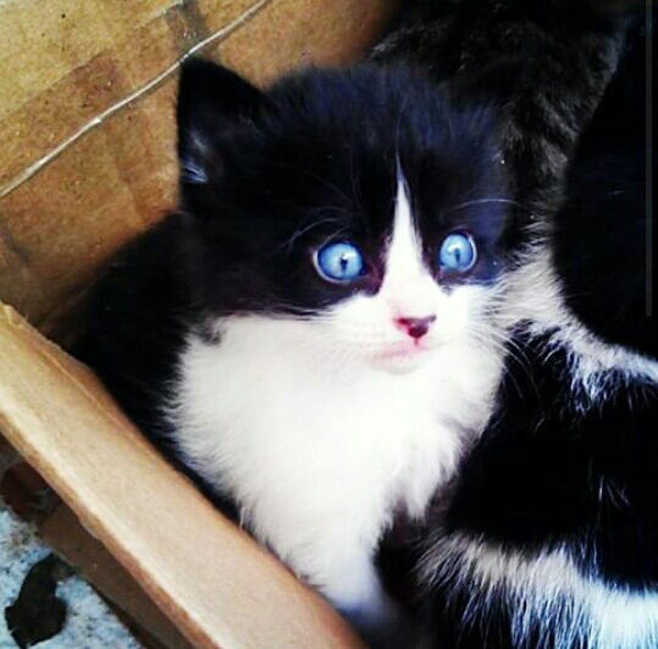 Blue Eyes Blue Eyes <3 Bluecat Cat♡ Cat Cats 🐱 CatEye