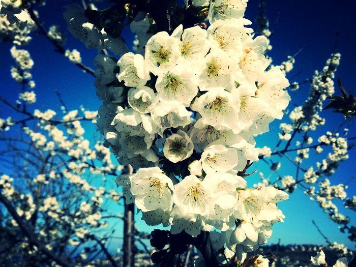 Trabzon Flowers Cherry
