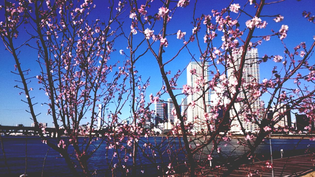 Tree Outdoors Sky No People Flower Nature Growth Beauty In Nature Clear Sky Branch Day Fragility Tokyo,Japan Toyosu Sea Sea Side Cityscape