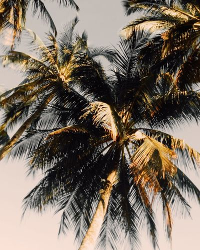 Coconut nut ...EyeEmNewHere Palm Tree Tree Low Angle View Nature Beauty In Nature Tranquility Growth Close-up Sunset Outdoors Vscocam Photography Eyeem Pick Beachvibes