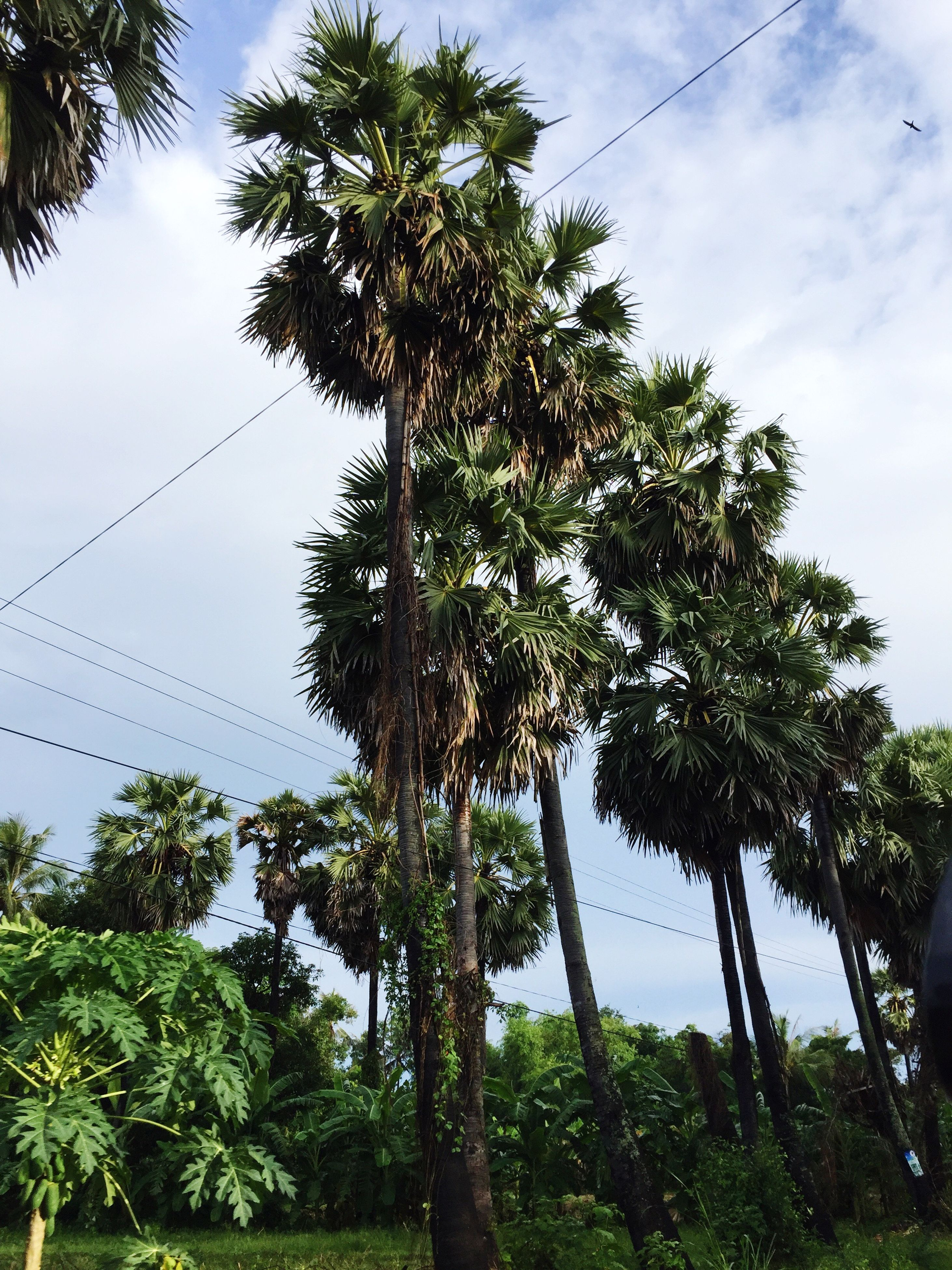 tree, palm tree, growth, low angle view, sky, nature, day, no people, outdoors, green color, cloud - sky, plant, beauty in nature, branch