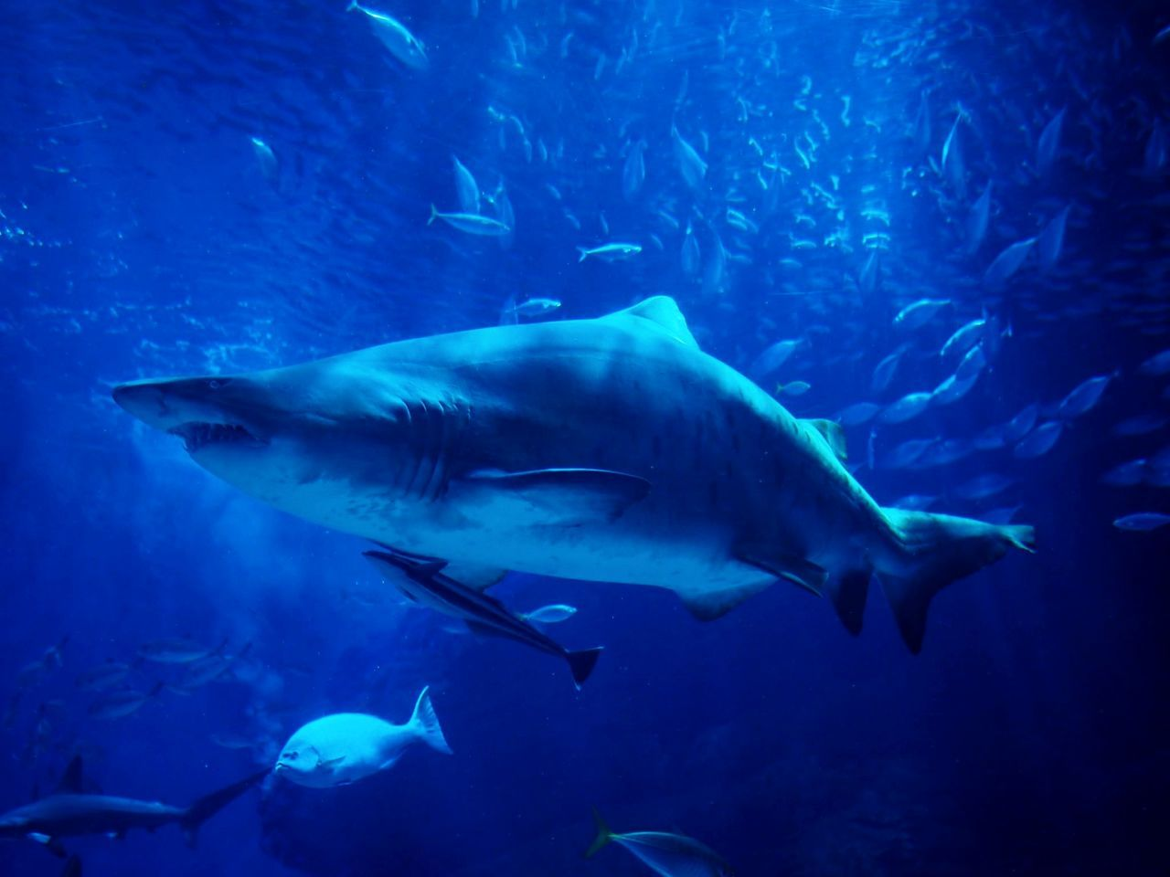 fish, animal themes, underwater, sea life, swimming, animals in the wild, large group of animals, no people, undersea, aquarium, nature, shark, blue, animal wildlife, motion, water, sea, day, indoors